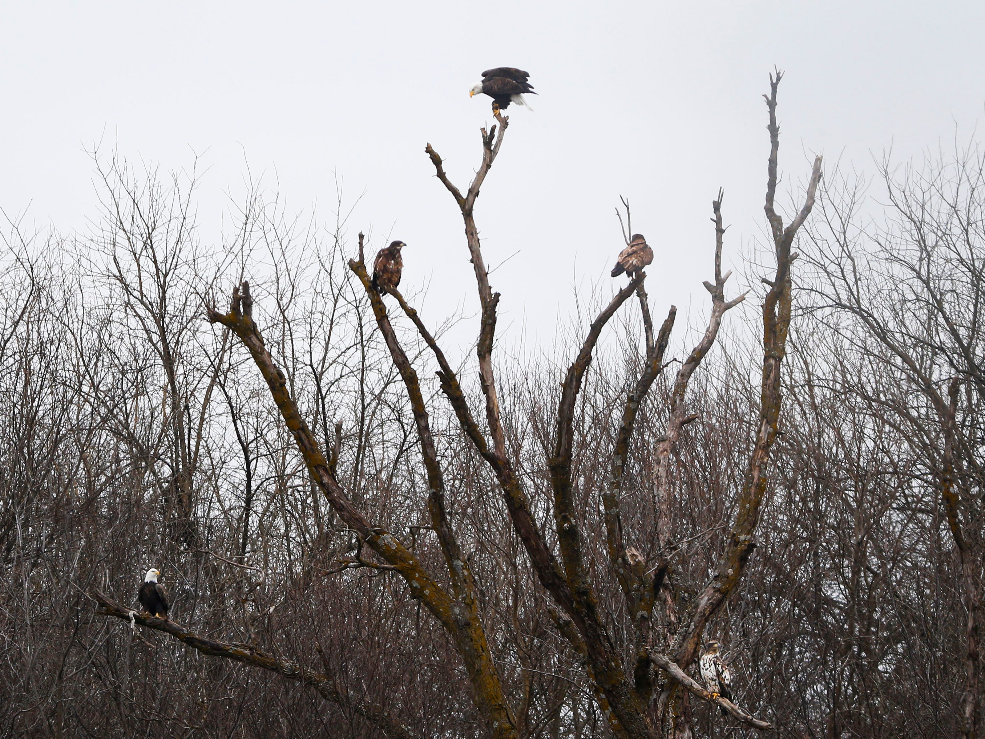 Five bald eagles, including three juvenile ones, sit perched in a tree near Stella  on Saturday, Dec. 29, 2018.
