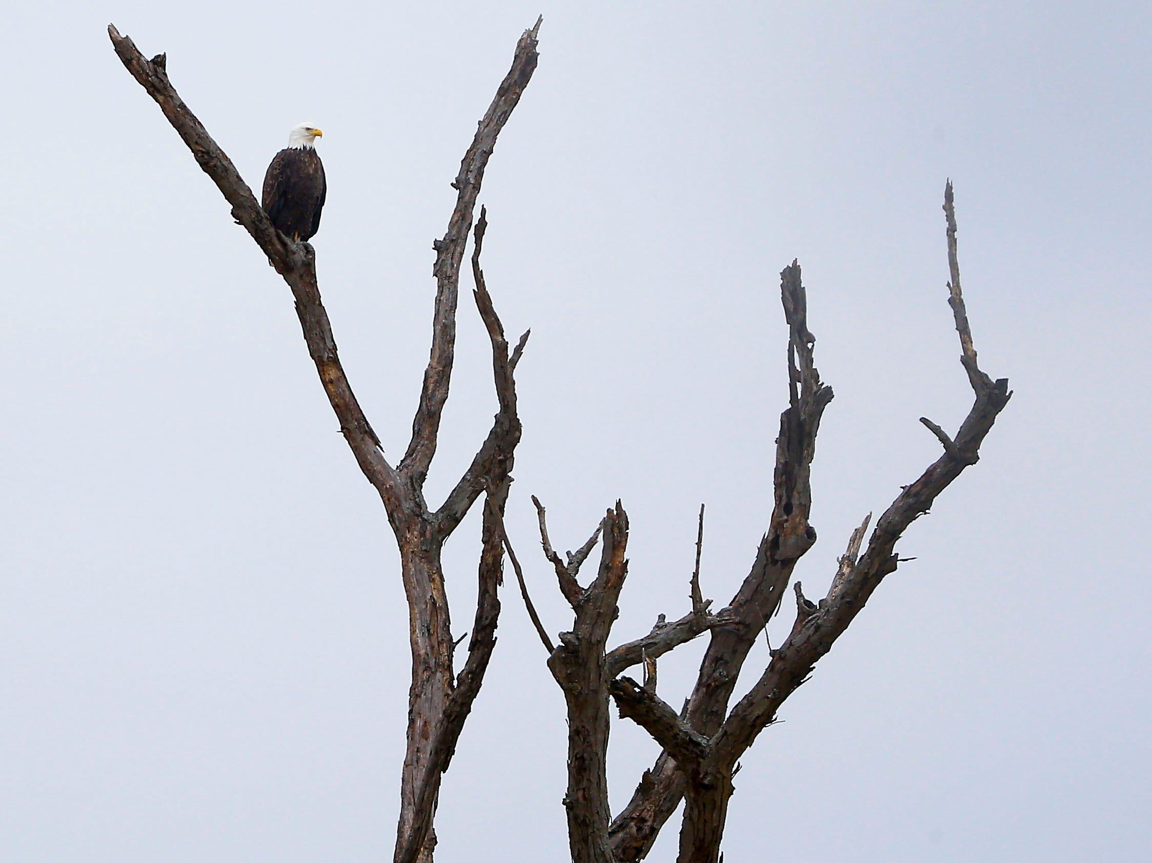 A bald eagle sits perched on a tree near Stella, Mo. on Saturday, Dec. 29, 2018.