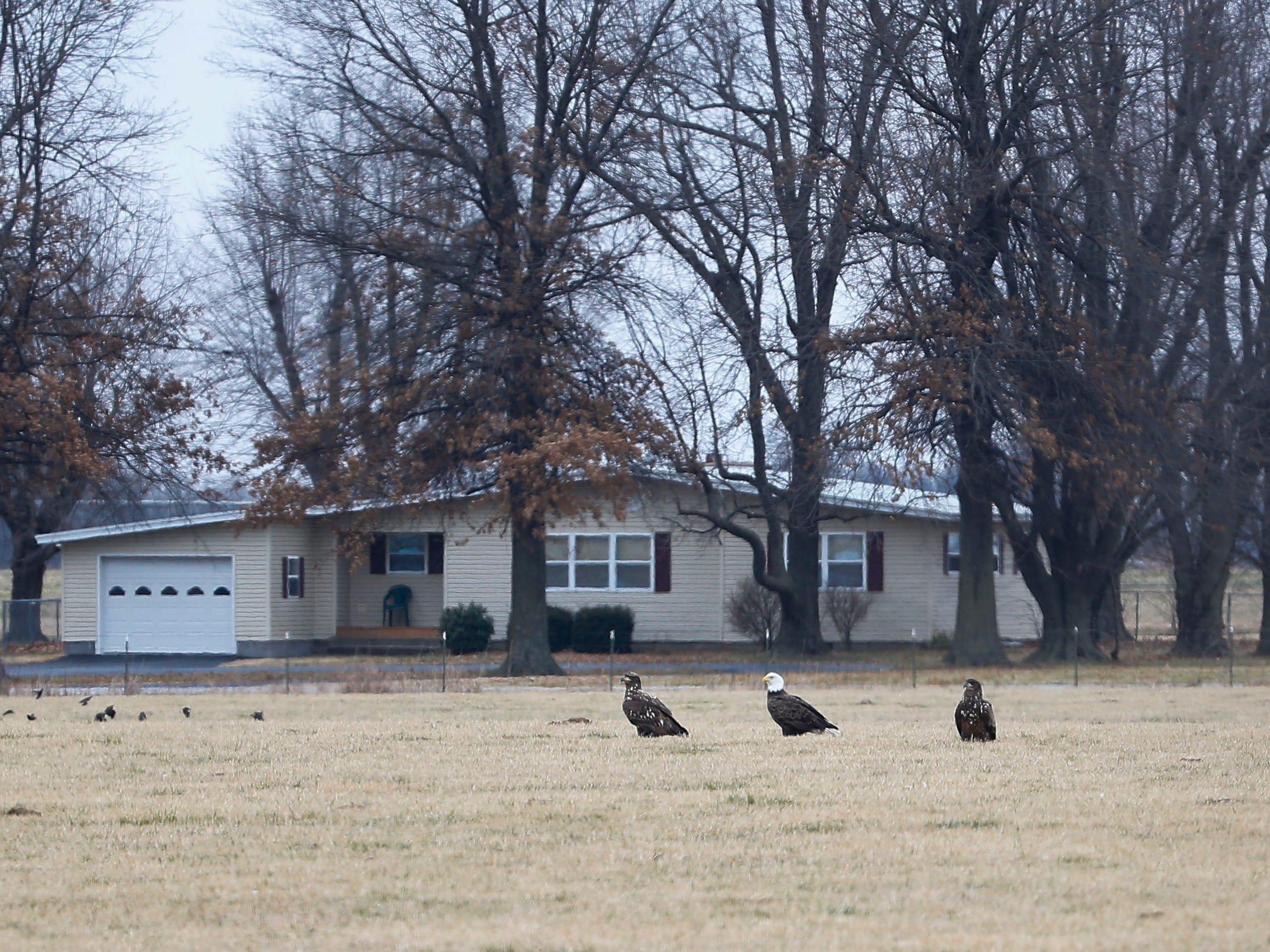 Three bald eagles sit in a field near Stella, Mo. on Saturday, Dec. 29, 2018.