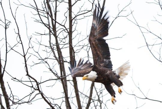 A bald eagle flies from a tree near Stella, Mo. on Saturday, Dec. 29, 2018.