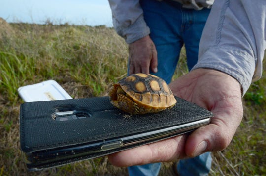 Craig Stout, senior scientist with Ecological Science Associates, holds a baby gopher tortoise removed Friday, Dec. 28, 2018, from the dredged material management area at Sebastian Inlet State Park.