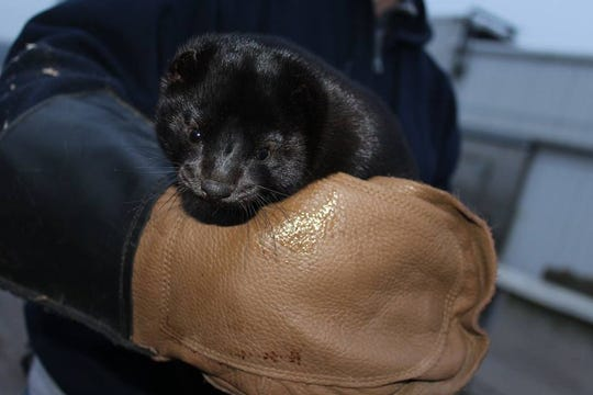 This mink at Sandy Bay Mink Ranch in Mishicot is prized for its luxurious pelt.
