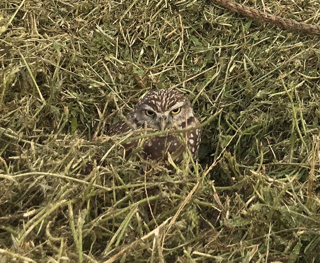 A burrowing owl family has been living in a nest in the middle of the practice field at Cape Coral High School since the spring of 2018, forcing the football team and others to work around the legally protected nest. Burrowing owls are a threatened species in Florida.