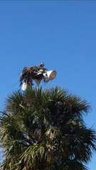 What appears to be an osprey perches from its nest atop a light stanchion behind the south end zone in Cape Coral High School. The nest is only yards away from one of at least three active burrowing owl nests at the school's athletics fields. Ospreys' prey includes burrowing owls.
