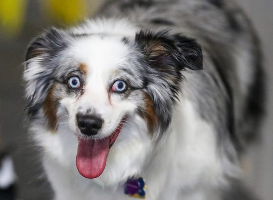 Olive, a miniature Australian shepherd, seen during the grand opening of Indy's Indoor Bark Park in Indianapolis, Saturday, Jan, 5, 2019. The large indoor space offers owners a place to exercise their dogs regardless of the weather. Membership options include single-day, multi-day and annual passes.