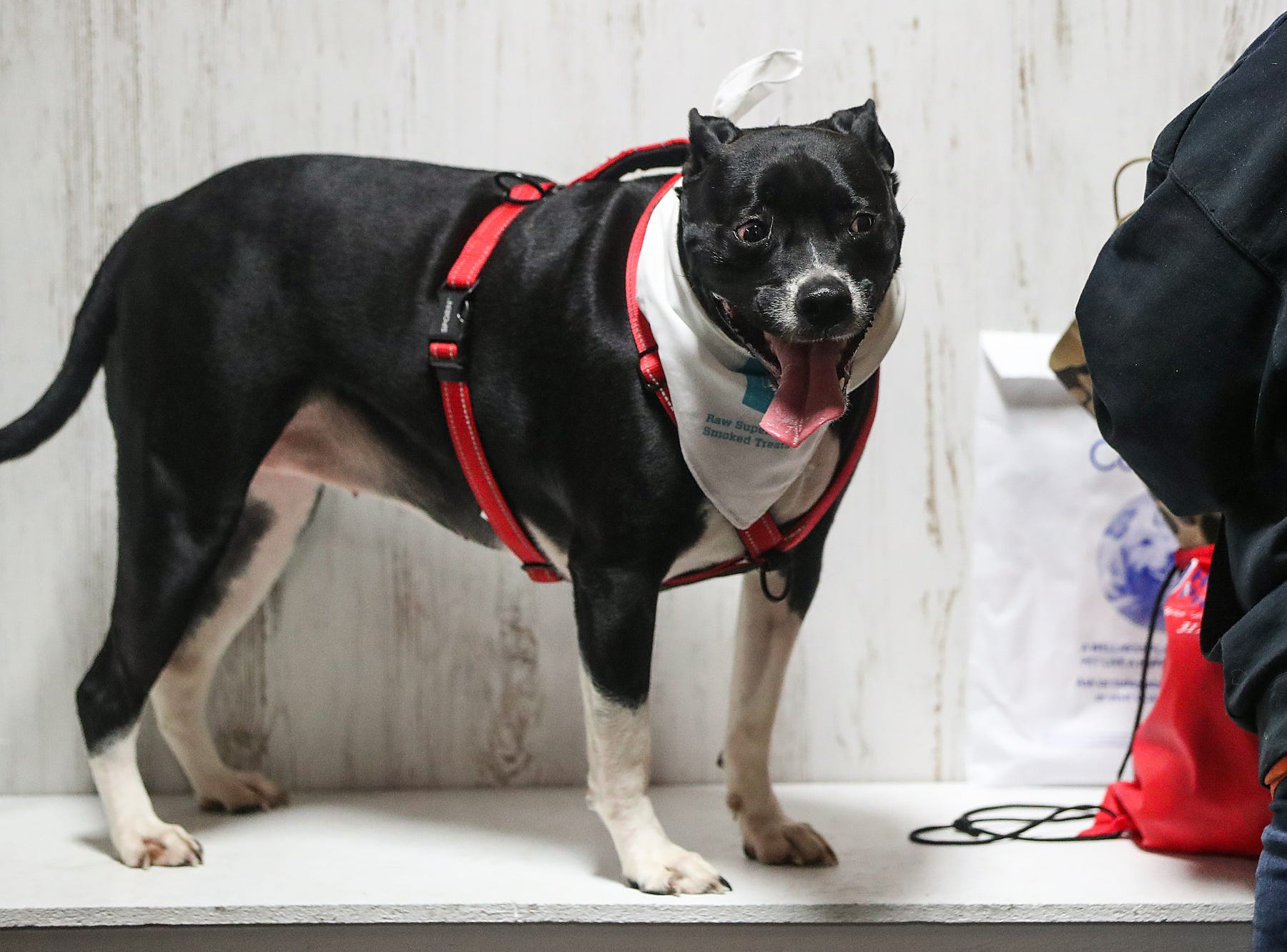A dog named Maddie is seen during the grand opening of Indy's Indoor Bark Park in Indianapolis, Saturday, Jan, 5, 2019. The large indoor space offers owners a place to exercise their dogs regardless of the weather. Membership options include single-day, multi-day and annual passes.