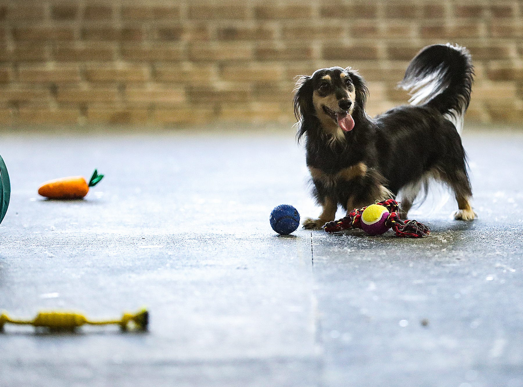 A dachshund named Opie plays in the small dog area, during the grand opening of Indy's Indoor Bark Park in Indianapolis, Saturday, Jan, 5, 2019. The large indoor space offers owners a place to exercise their dogs regardless of the weather. Membership options include single-day, multi-day and annual passes.