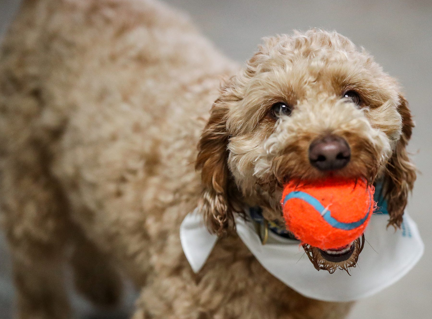 Tuck holds a ball during the grand opening of Indy's Indoor Bark Park in Indianapolis, Saturday, Jan, 5, 2019. The large indoor space offers owners a place to exercise their dogs regardless of the weather. Membership options include single-day, multi-day and annual passes.