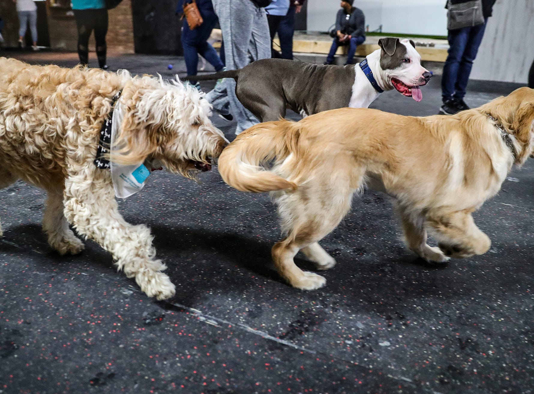 Dogs romp around during the grand opening of Indy's Indoor Bark Park in Indianapolis, Saturday, Jan, 5, 2019. The large indoor space offers owners a place to exercise their dogs regardless of the weather. Membership options include single-day, multi-day and annual passes.