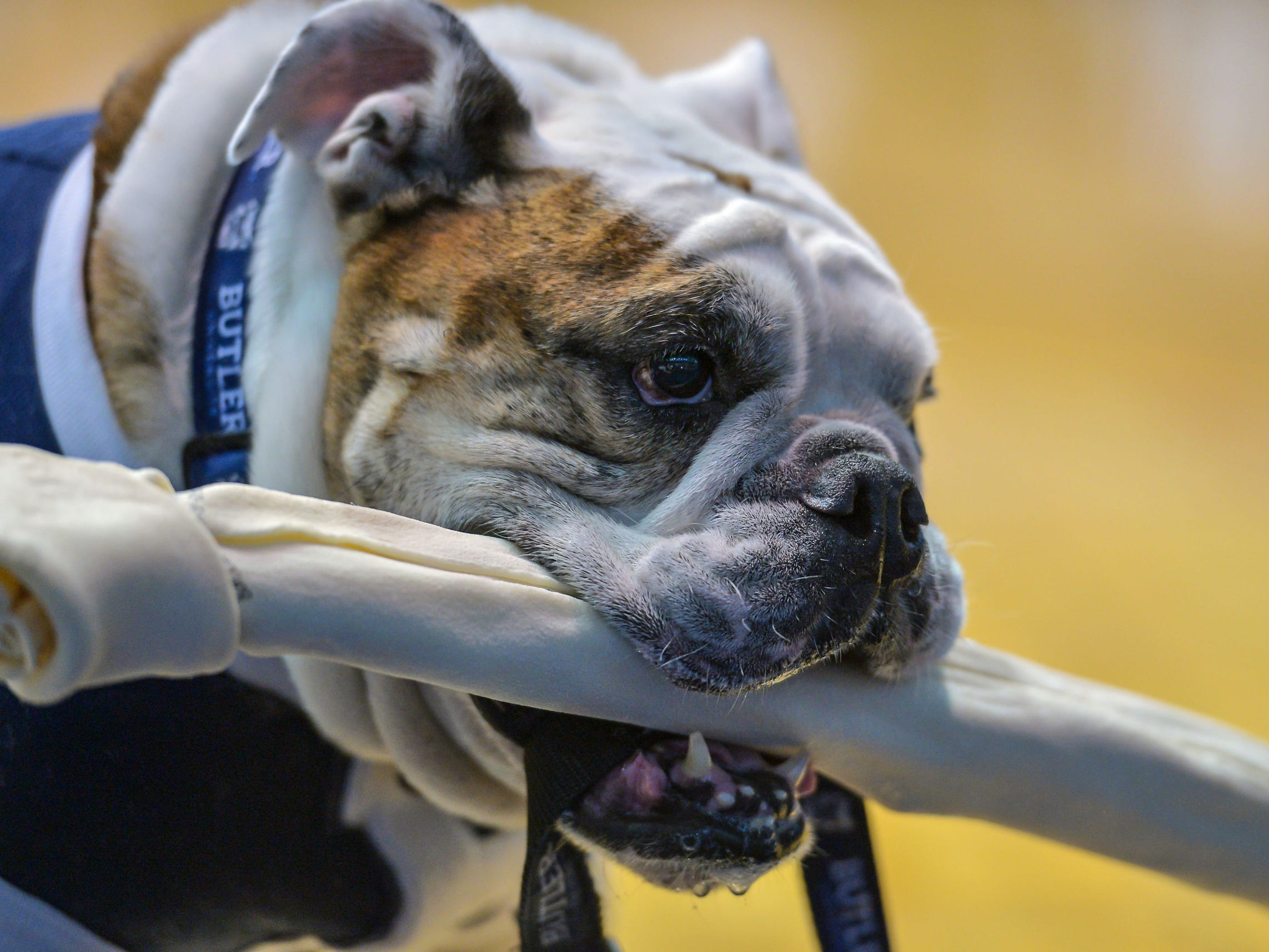 Butler Blue III carries his bone with pride before the start of the game against the Creighton Bluejays at Hinkle Fieldhouse.