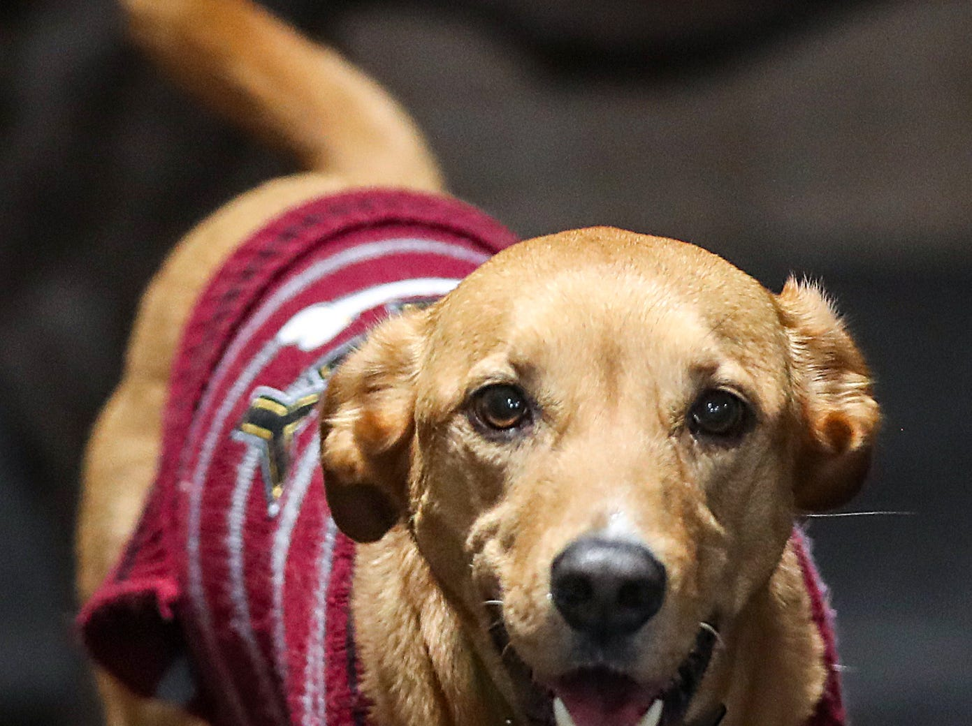 A dog named Layla seen during the grand opening of Indy's Indoor Bark Park in Indianapolis, Saturday, Jan, 5, 2019. The large indoor space offers owners a place to exercise their dogs regardless of the weather. Membership options include single-day, multi-day and annual passes.