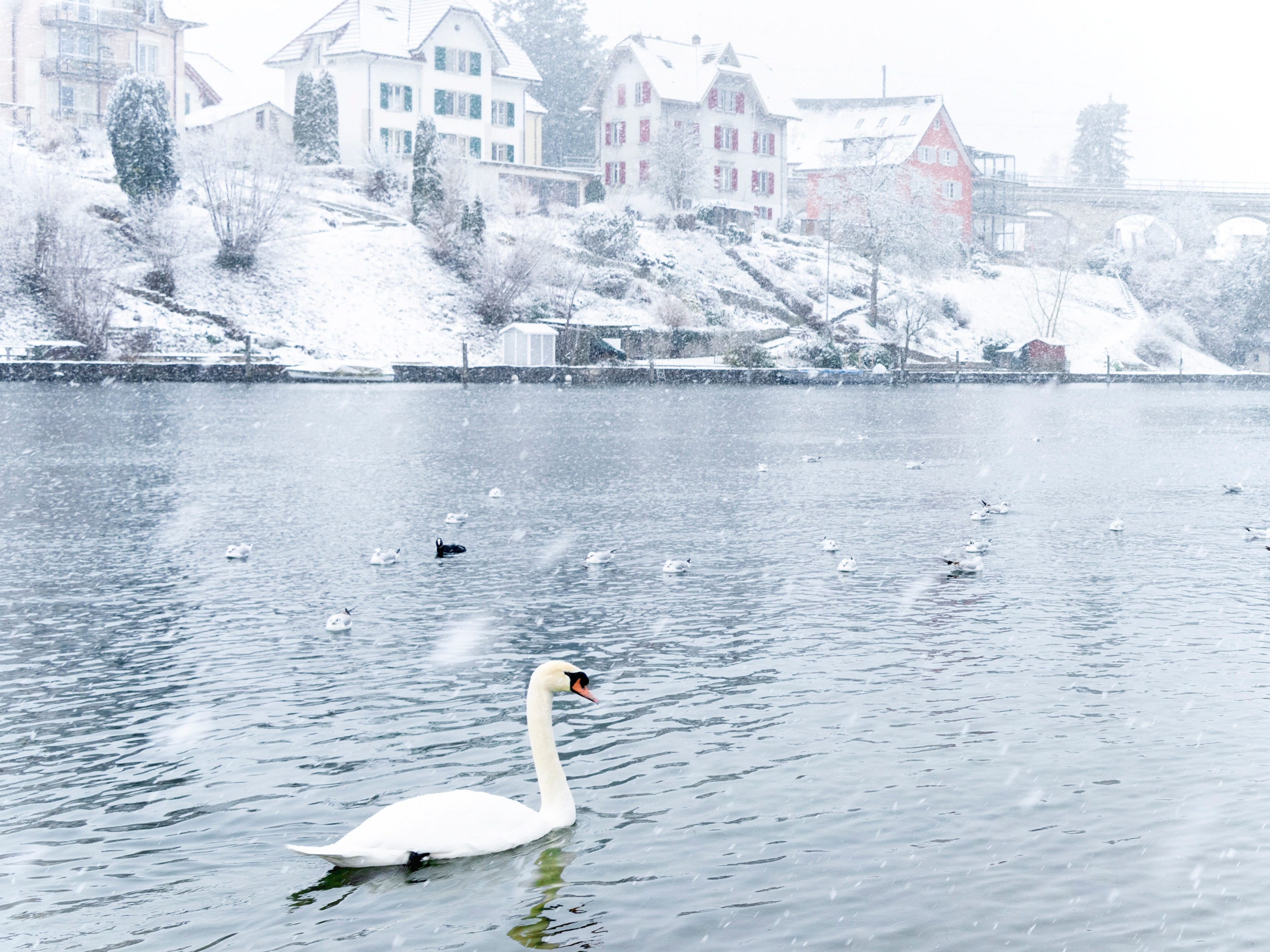A swan swims the Rhine during snowy weather in Schaffhausen, Switzerland on Jan. 5, 2019.