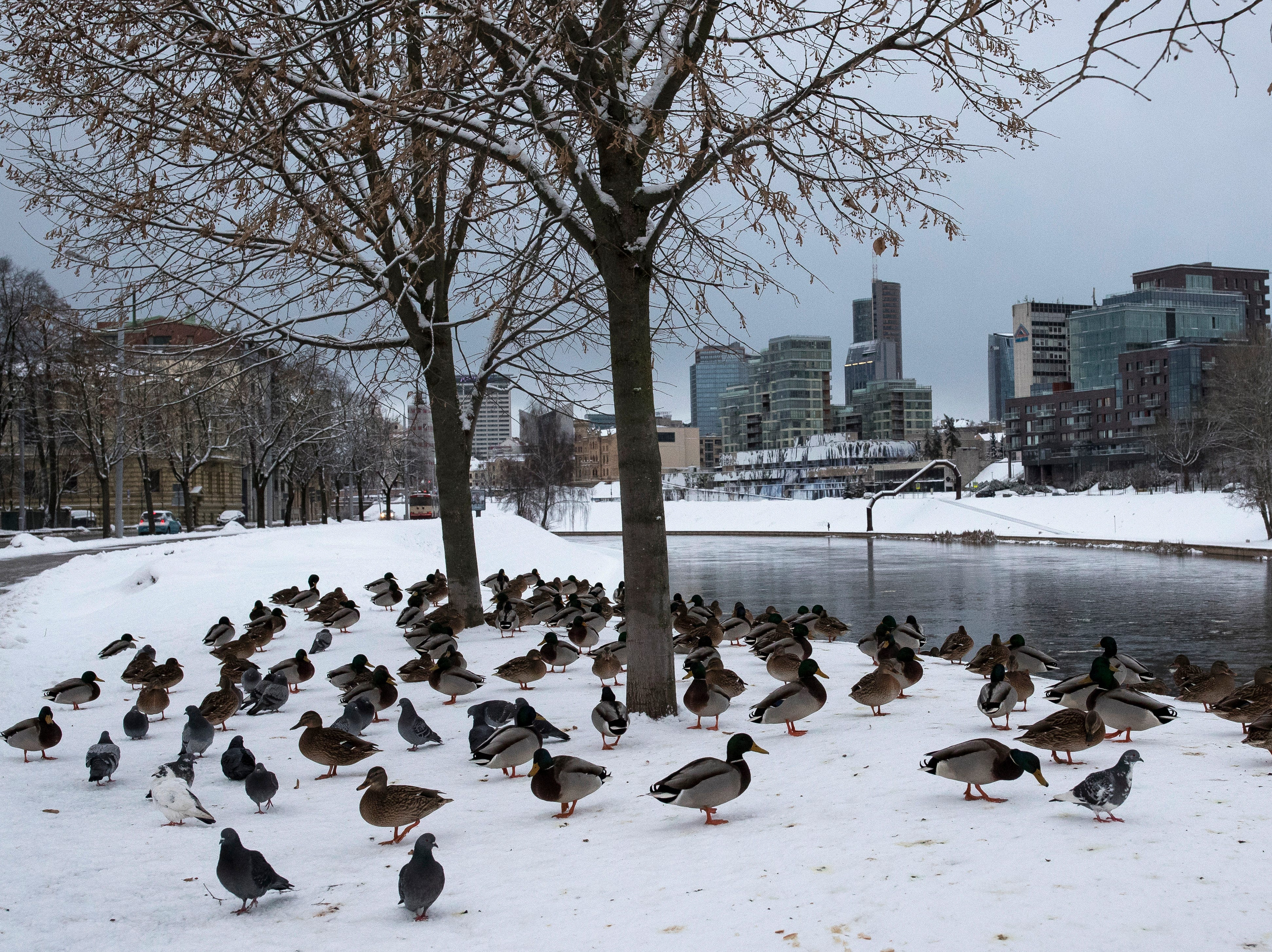 Ducks sit on the snow-covered banks of the Neris river in Vilnius, Lithuania on Saturday, Jan. 5, 2019.