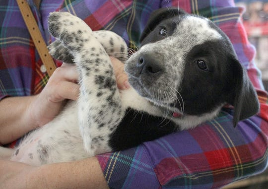 This puppy may be in the arms of her new owner at Jojo's Doghouse adoption event at Pet Supplies Plus in Hendersonville, TN on Saturday, January 5, 2019.