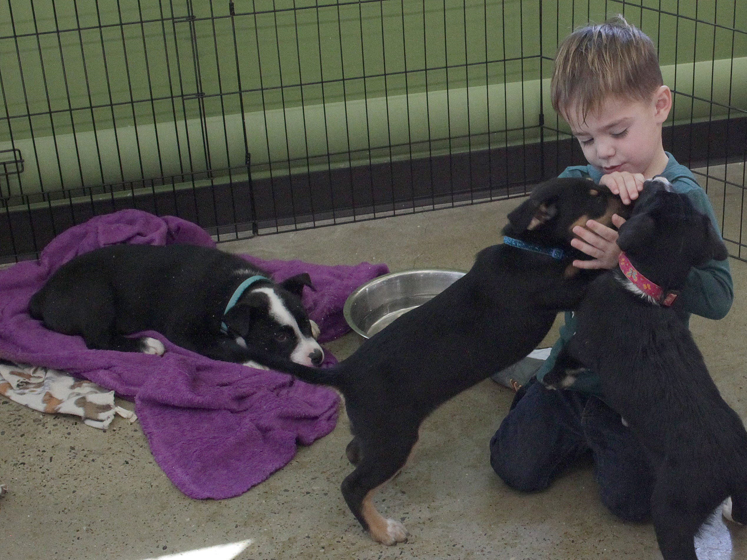 Mills Evans (3) plays with puppies as the shy one of the bunch Tiny Tim watchs at jojo's Doghouse adoption event at Pet Supplies Plus in Hendersonville, TN on Saturday, January 5, 2019.