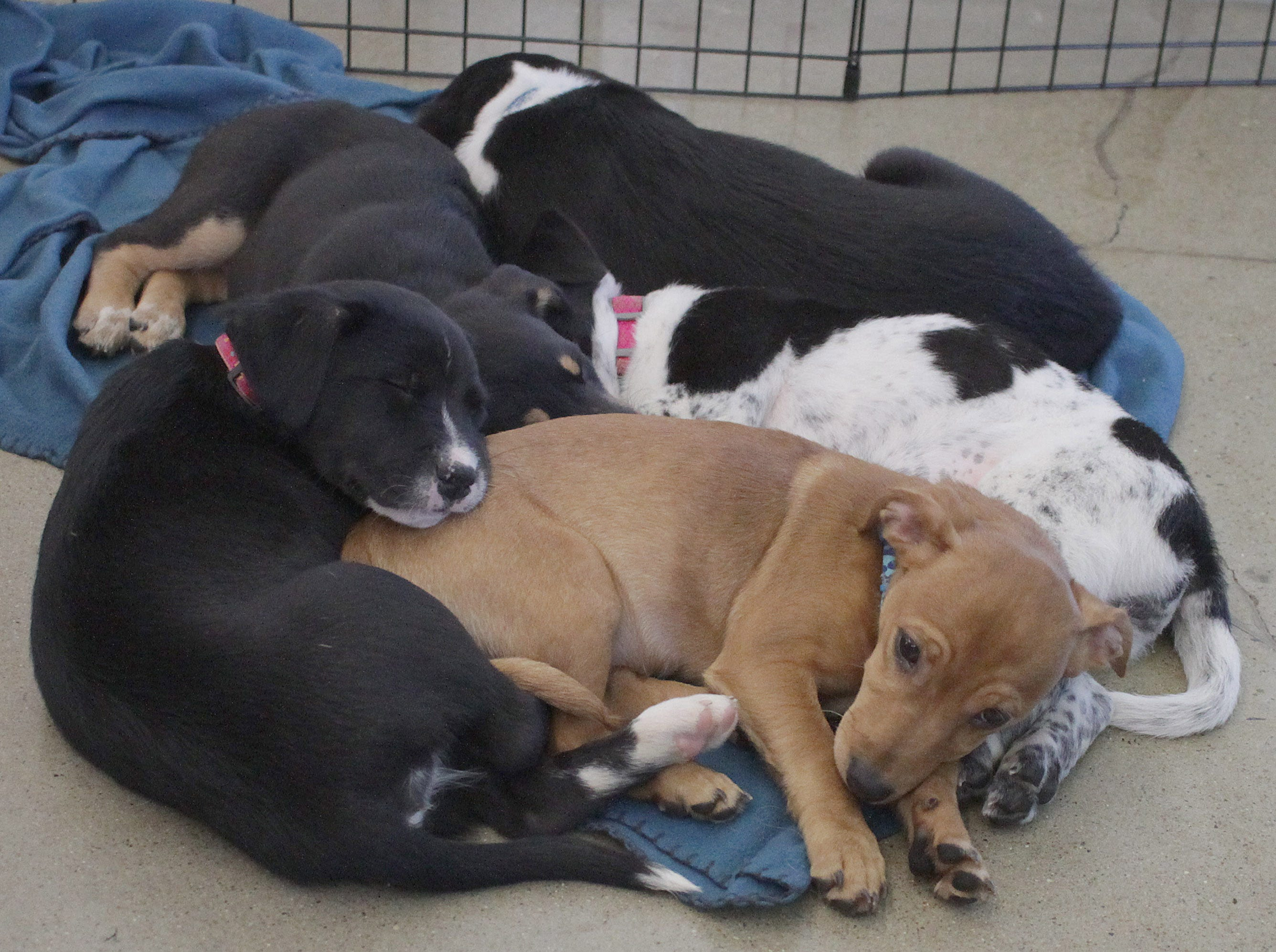 After playing with plenty of people the puppies crashed at Jojo's Doghouse adoption event in Hendersonville, TN on Saturday, January 5, 2019.