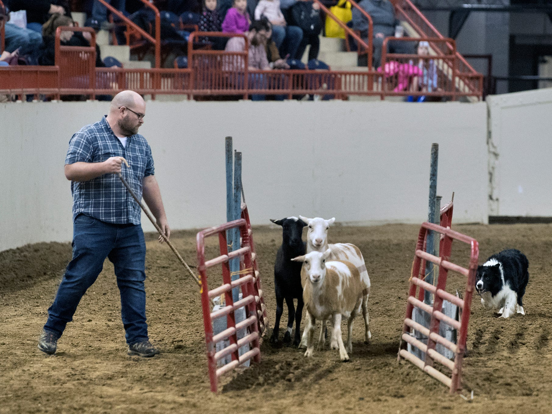Michael Polites, of Mount Carmel, works with his herding dog named Taff as he directs sheep through one of several chutes and around obstacles. The Pennsylvania Farm Show Sheepdog Trials were part of The 103rd Pennsylvania Farm Show in Harrisburg Sunday January 6, 2019.