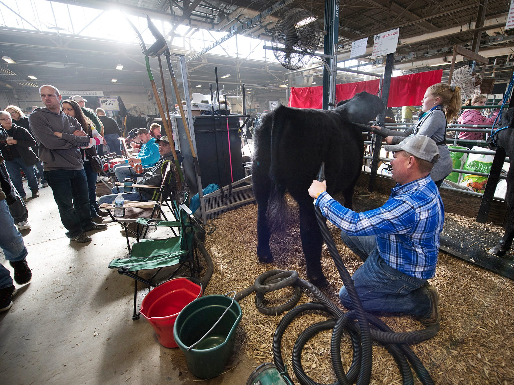 Eric and Alayna Zeigler, of East Berlin, blow water off a hybrid steer that is prepped for showing during The 103rd Pennsylvania Farm Show in Harrisburg Sunday January 6, 2019. The 10-year old Alayna has raised the steer names Zeke since it was 700 lb. baby, now weighing in at 1325 lbs.