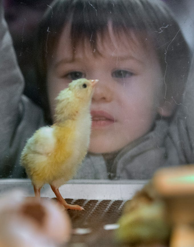 A child watches a recent hatchling stumble around on new legs in an incubator during The 103rd Pennsylvania Farm Show in Harrisburg Sunday January 6, 2019.