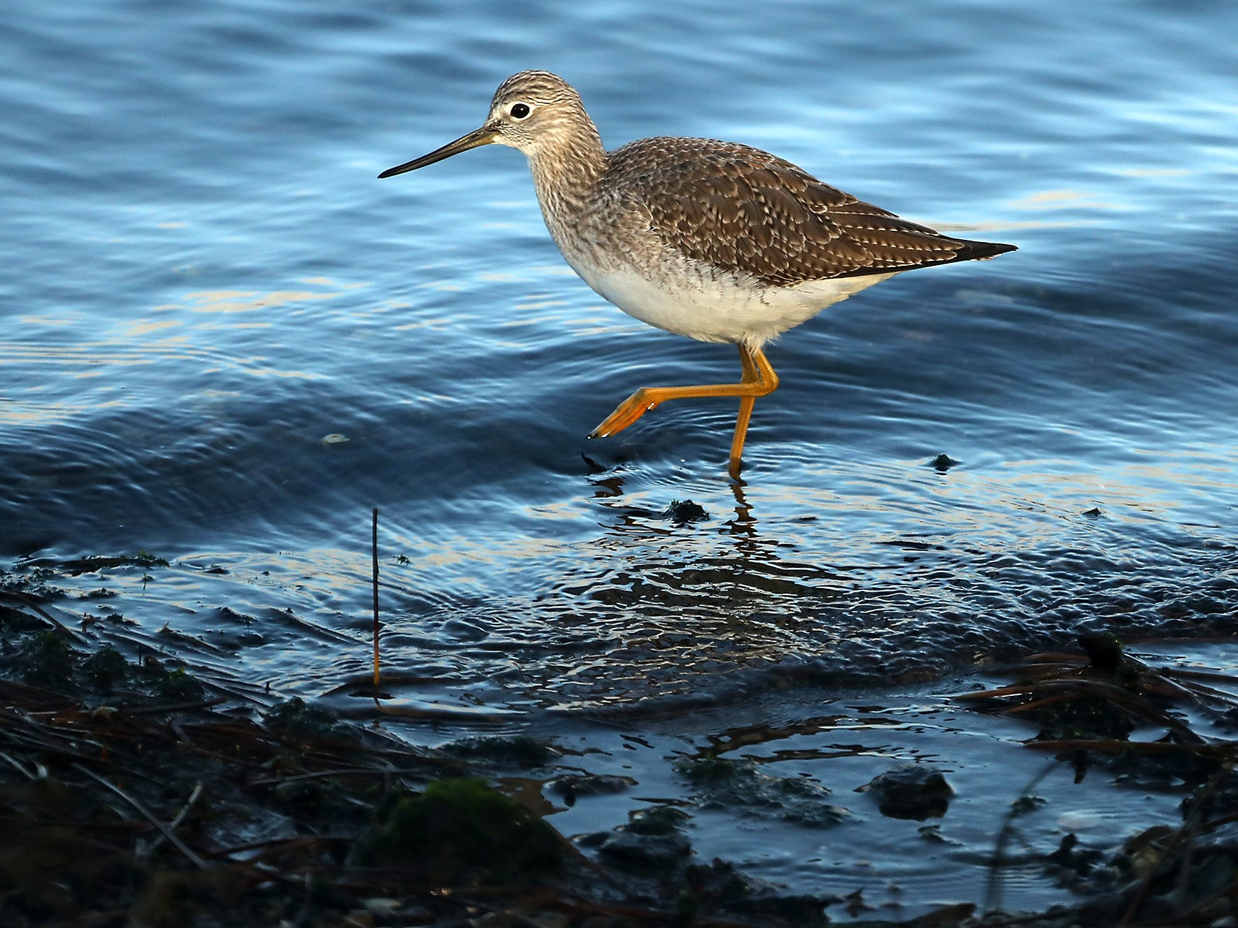 A greater yellowlegs looks for breakfast along the shore of the the Tracyton boat launch on Monday, January 7, 2019.