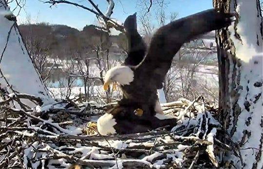 Decorah Mom shows dominance over Unidentified Male Eagle. She is preparing him for mating.