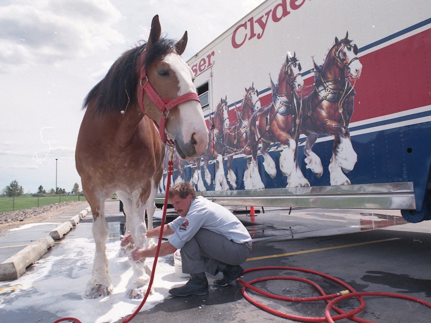 A Budweiser Clydesdale being washing in Fort Collins on June 1, 1988.