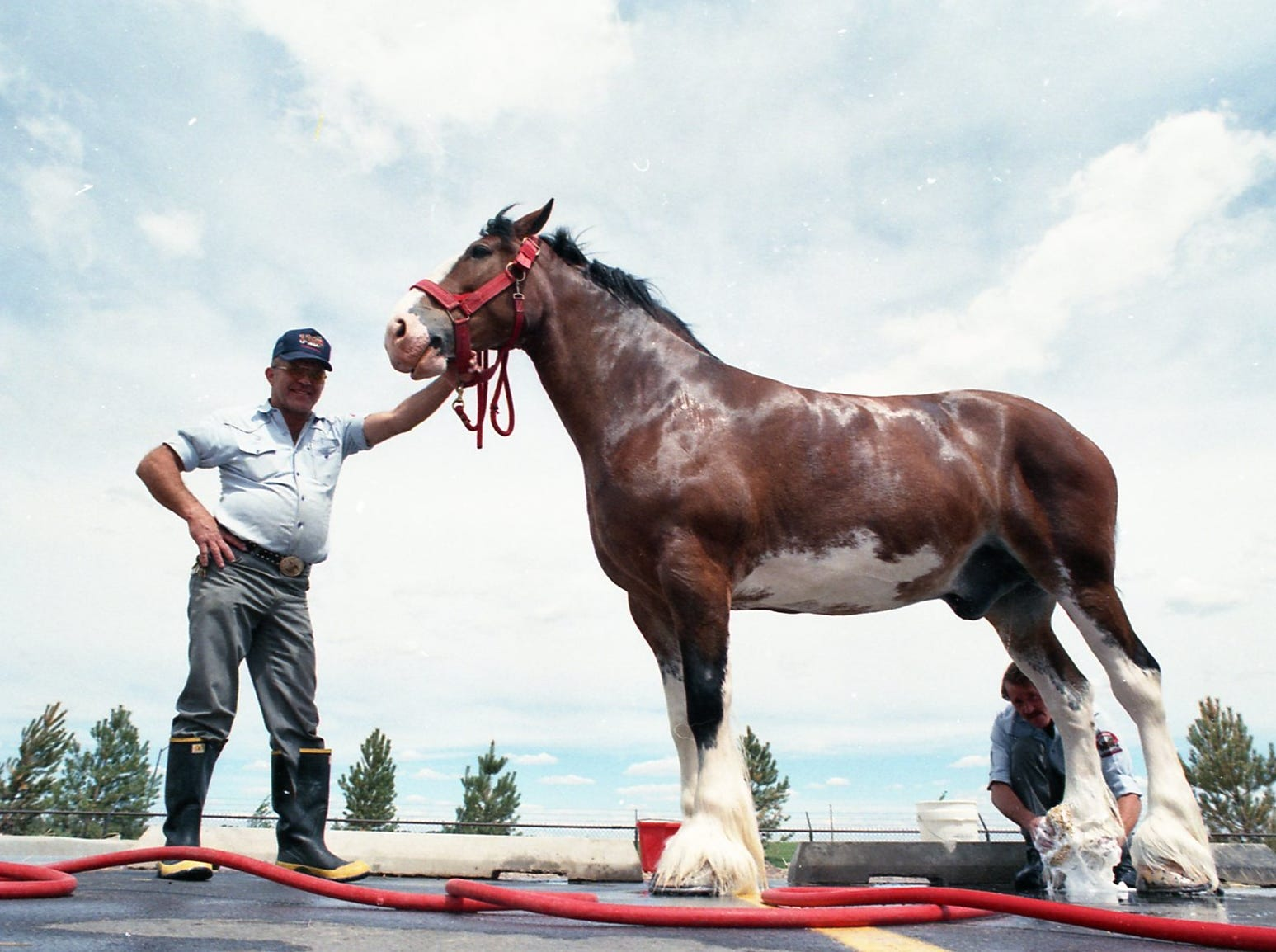 Missed them over Christmas? The Budweiser Clydesdales are back in Fort Collins