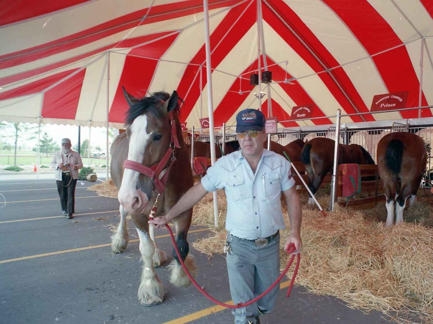 A Budweiser Clydesdale in Fort Collins on June 1, 1988.