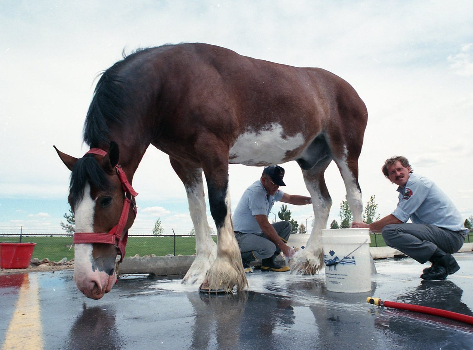 A Budweiser Clydesdale being washed on June 1, 1988 in Fort Collins.