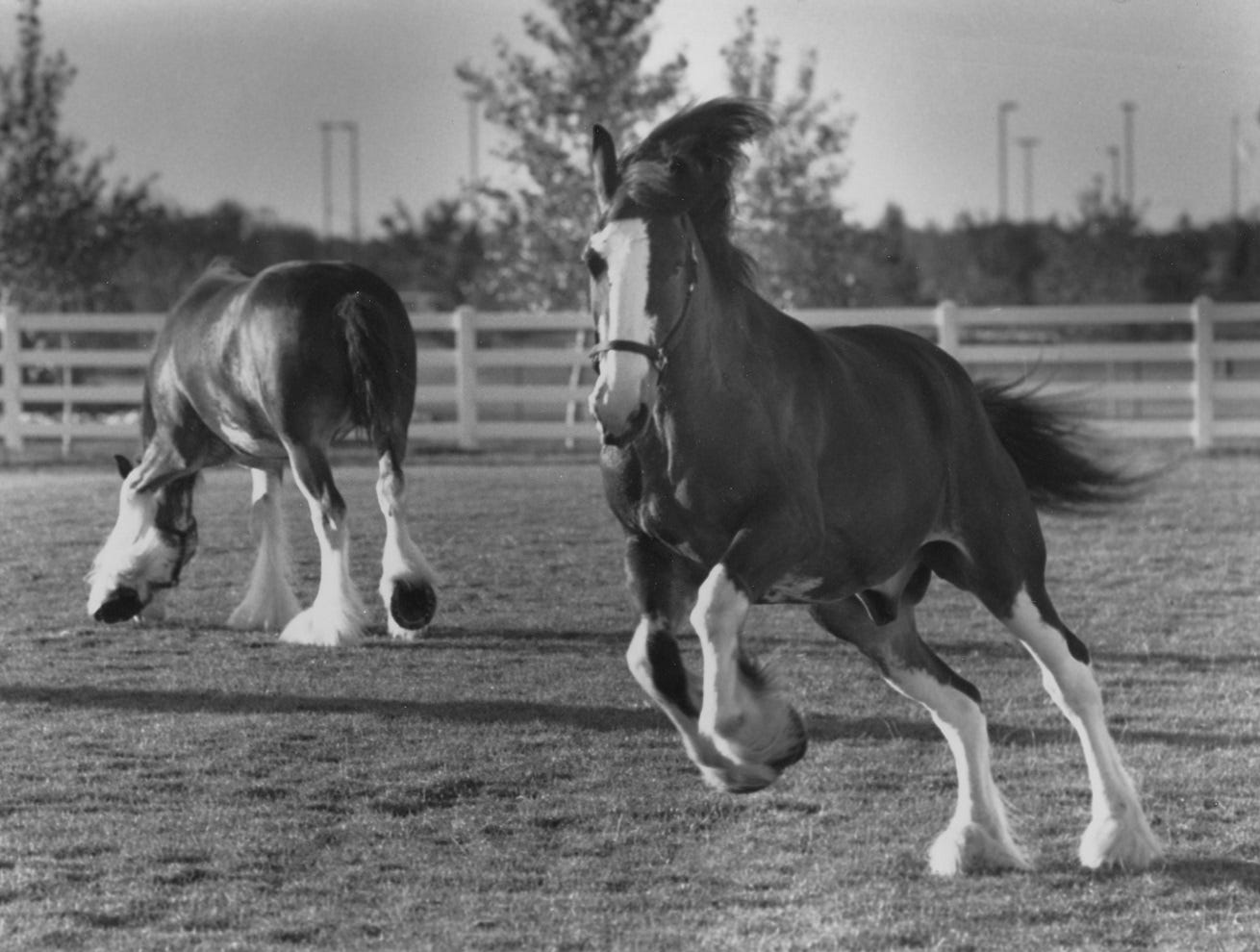 Budweiser Clydesdales Robby and Dewery frolic during their morning exercise at Anheuser-Busch in Fort Collin in September 1990.