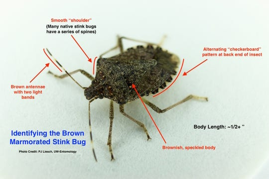 Brown marmorated stink bugs found in Wisconsin can be identified by a checkerboard pattern at the back end and a brownish speckled body.