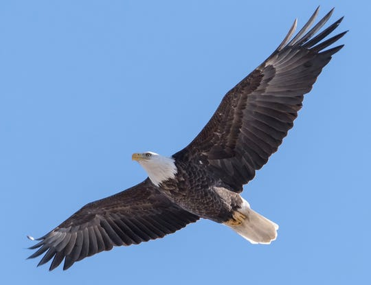 The 2018 surveys found a total of 1,695 bald eagle nests occupied by breeding adults, an increase of 105 nests from 2017. That's a 6.6 percent increase and more than 16 times as many nests found in the first detailed surveys in 1974, when bald eagles were listed as state and federally endangered species and only 108 nests were documented.