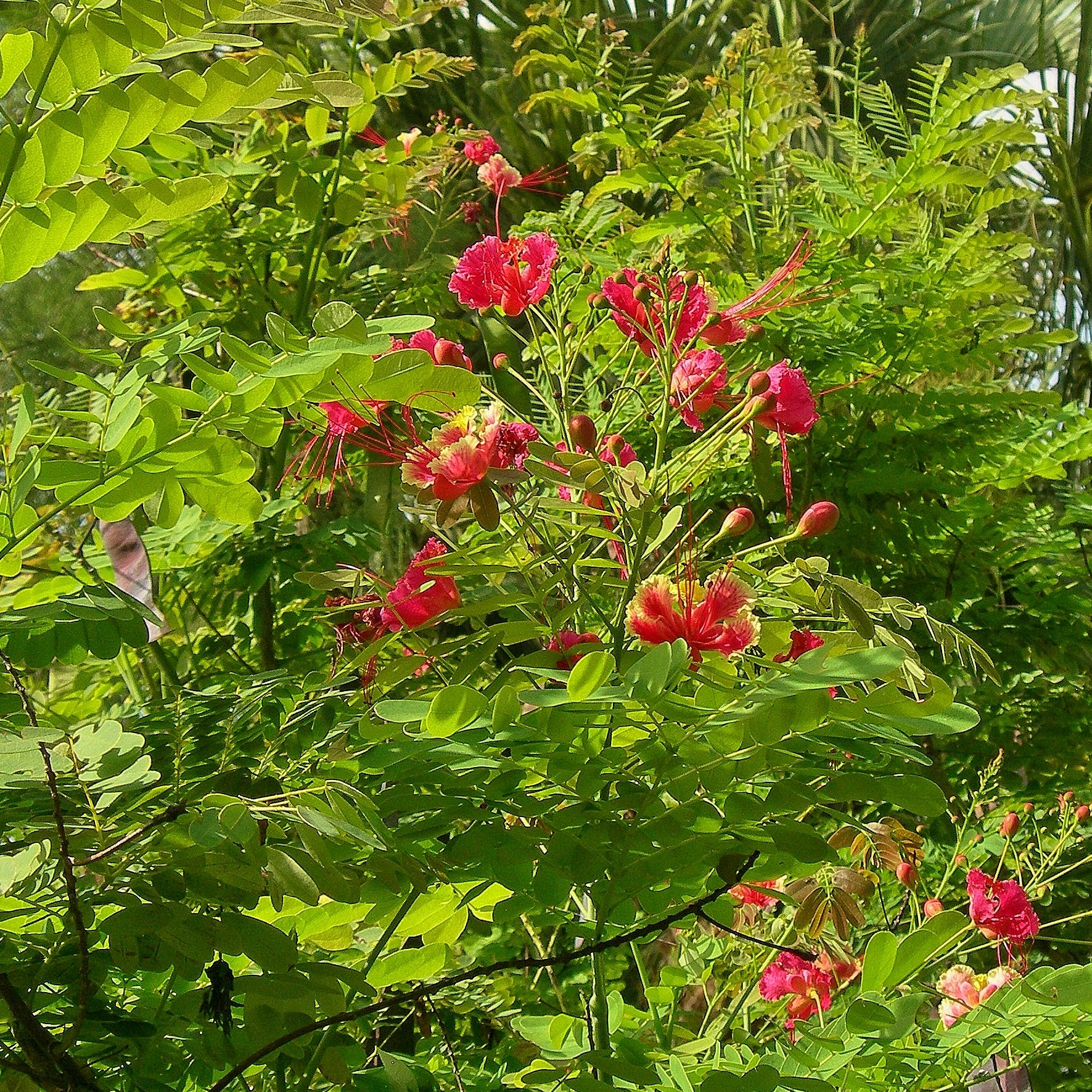 January good time for planting trees, Pride-of-Barbados great choice for small spaces