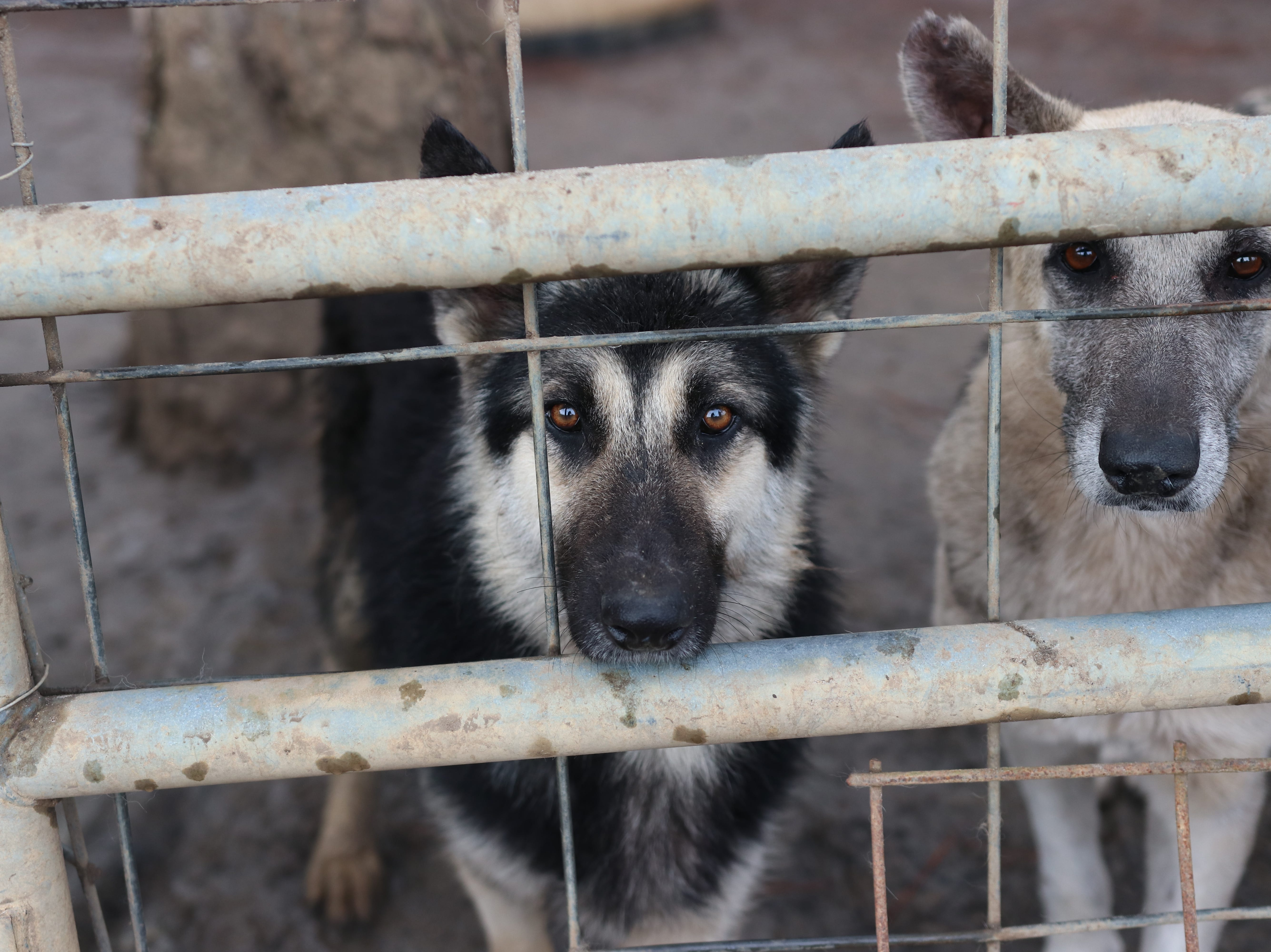 German shepherds are expected to arrive at Brandywine Valley SPCA's West Chester location on Tuesday