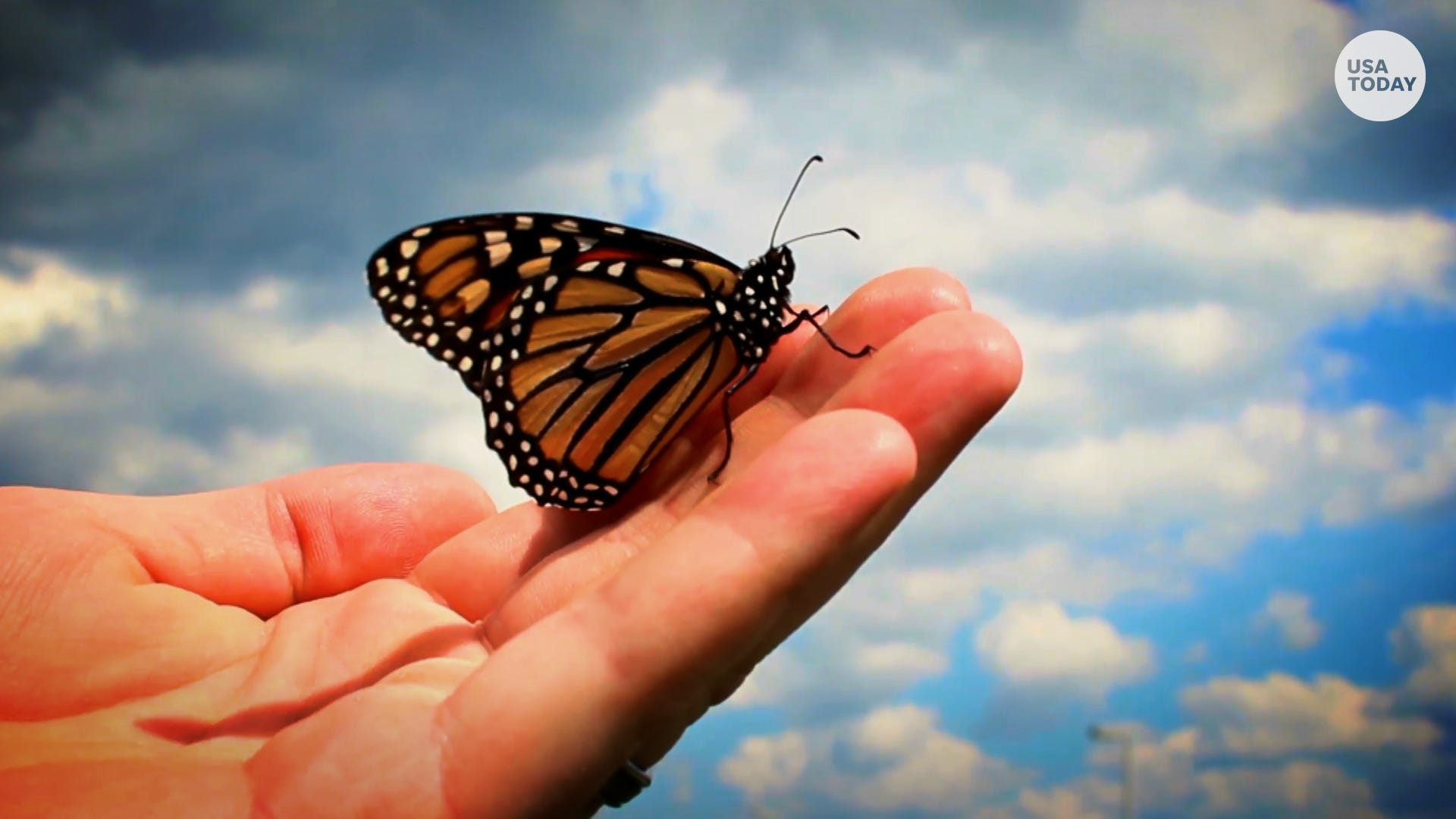 biologists puzzled as monarch butterfly population