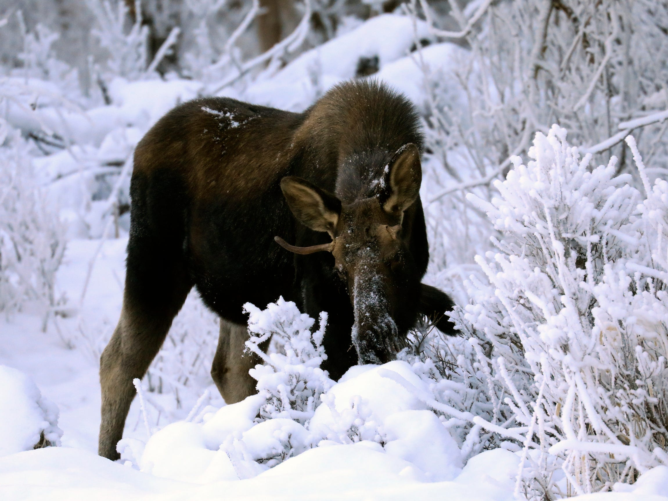 A young bull moose with snow on its face feeds on twigs in Anchorage, AK.   Jan. 6, 2019. Temperatures on dipped slightly below zero in Alaska's largest city.