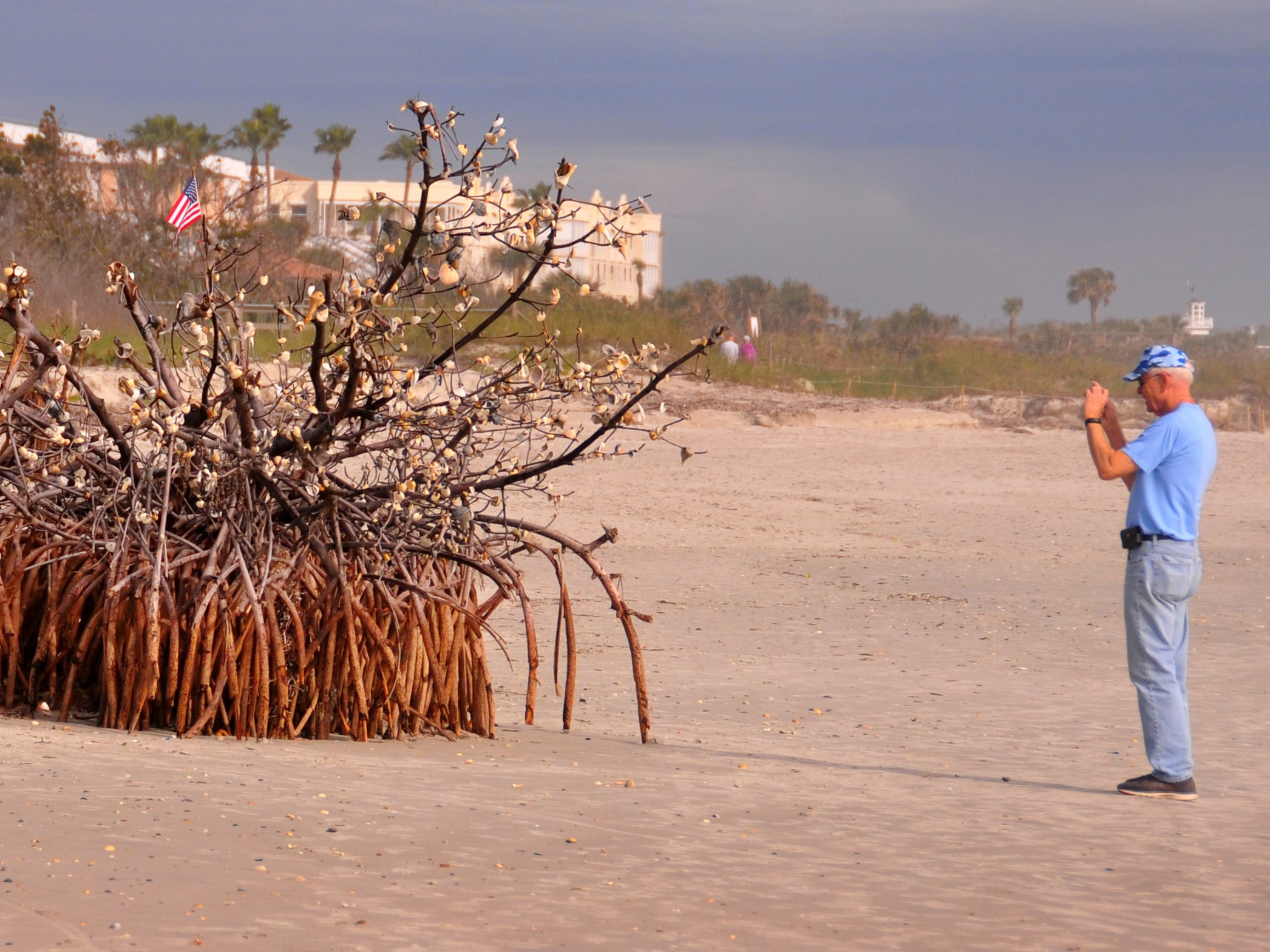 A large red mangrove tree, believed to have washed ashore during Hurricane Irma, has become a local landmark. Beach walkers have decorated the limbs of the tree, just north of Cherie Down Park in Cape Canaveral, with seashells from the beach, tied on with seaweed or stuck on a branch. The only non-native item on the tree is a small American flag secured with plastic ties. Most people pass the tree for a look or photo, some add shells to the collection.