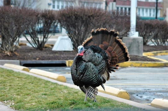 Uncle Vinny, a wild turkey named by Palmyra residents, stands in the parking lot of a Wawa on Cinnaminson Avenue.