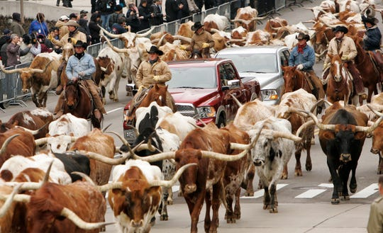 Dodge ushered in the 2009 Dodge Ram truck with a cattle drive featuring long-horn steers and cowboys on horseback down Washington Boulevard to Cobo Center.