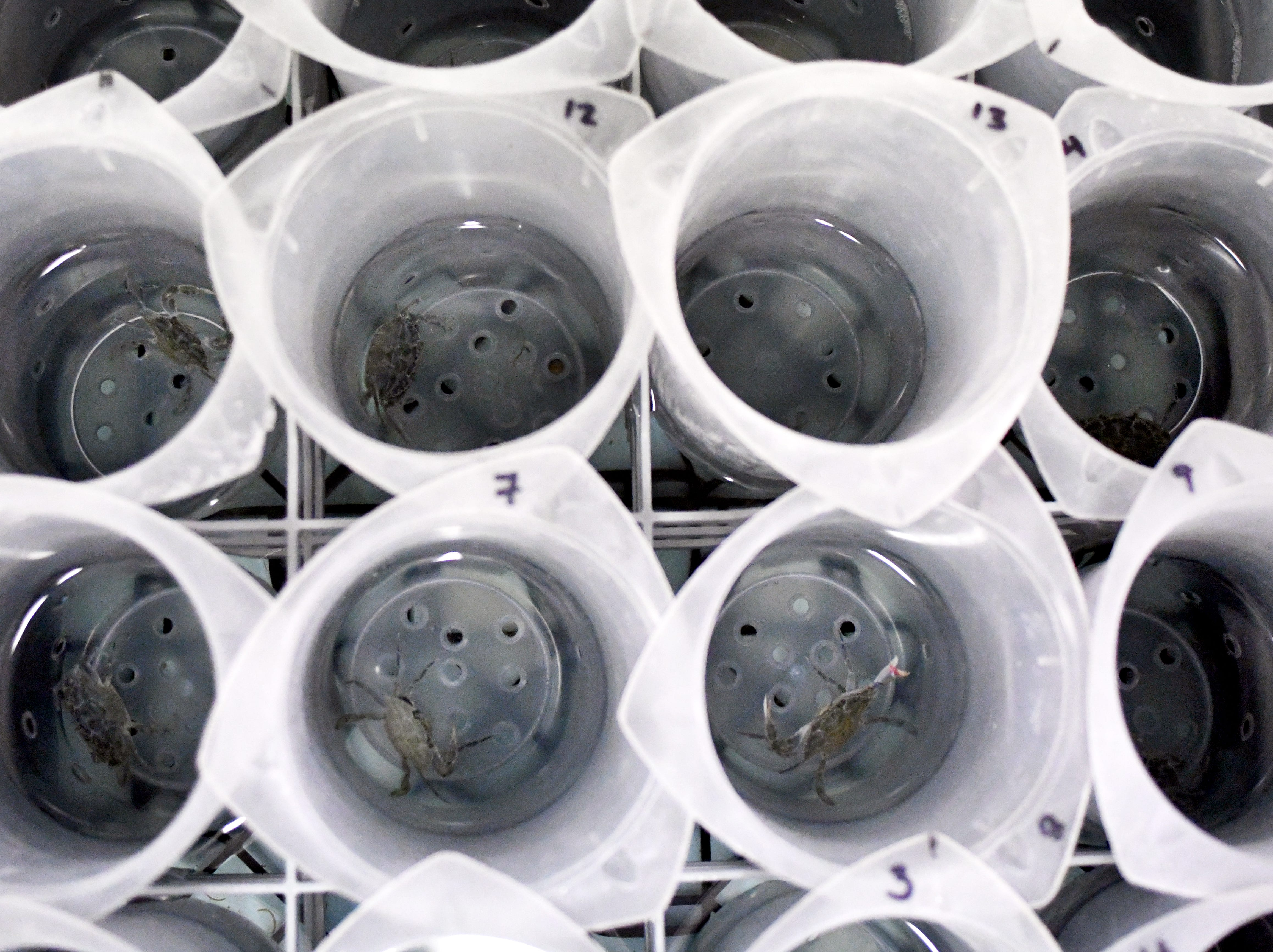 Scientists at the University of Southern Mississippi are working at the nation's only blue crab hatchery to diversify the blue crab industry for fishermen.