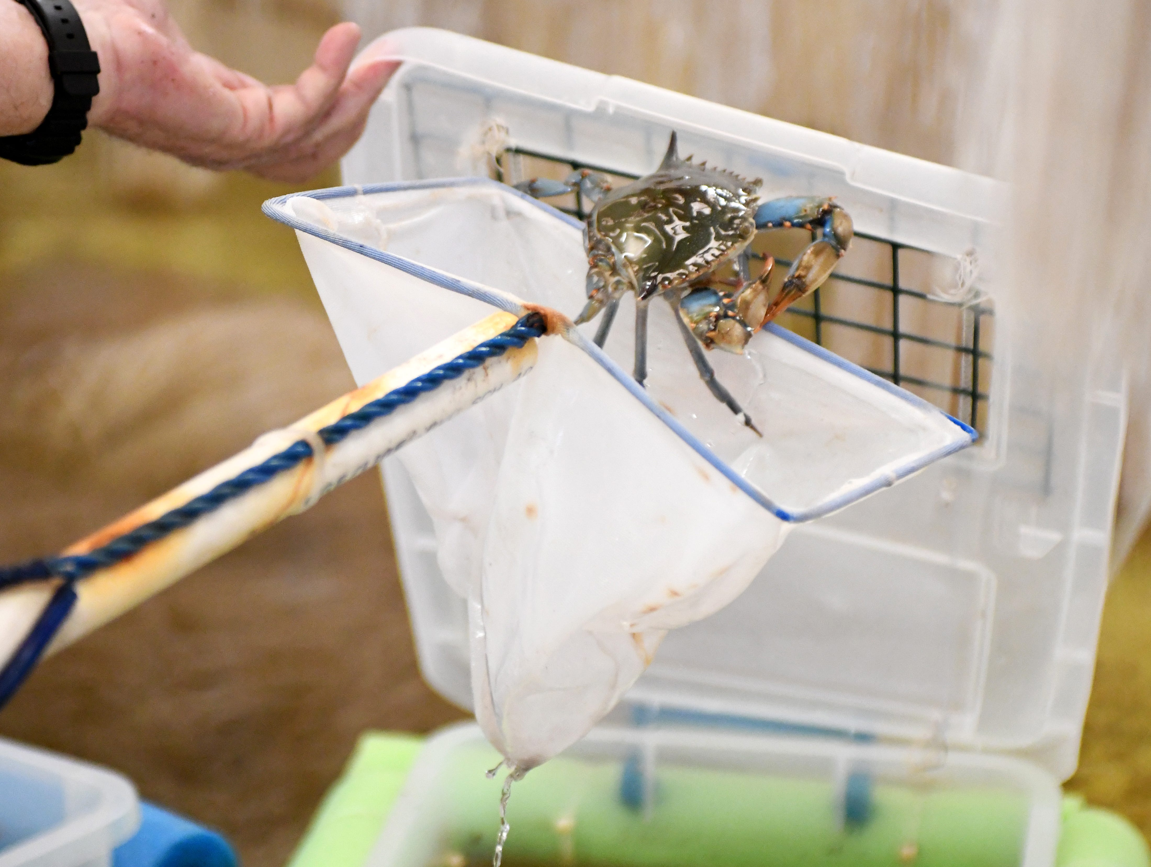 Scientists at the University of Southern Mississippi's blue crab hatchery in Ocean Springs are doing research to make it easier for fishermen to farm blue crabs.