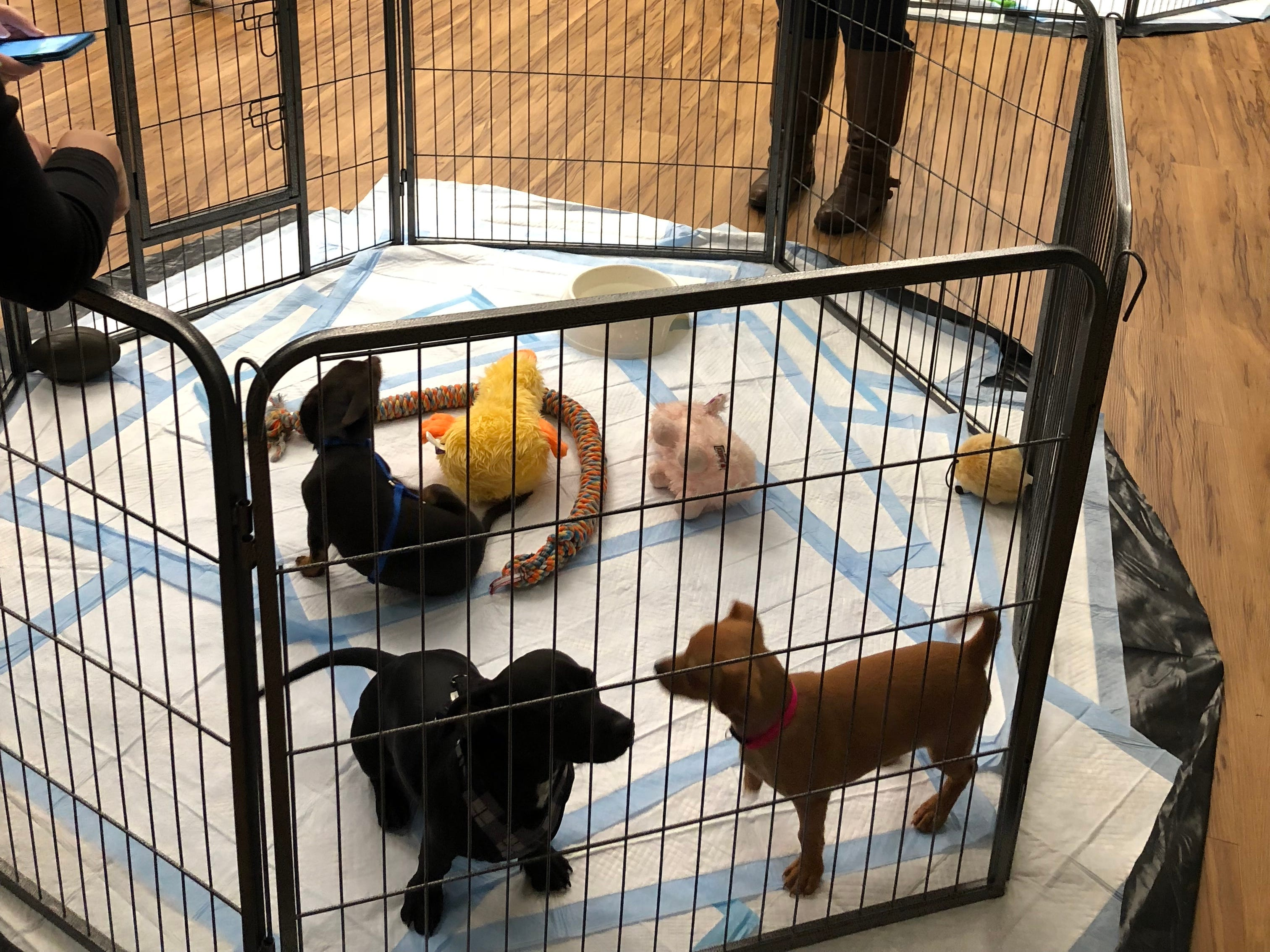 Molly Mae plays with other puppies while in New York City. She was in NYC to tape Animal Planet's 2019 Puppy Bowl, which will air at Feb. 3.