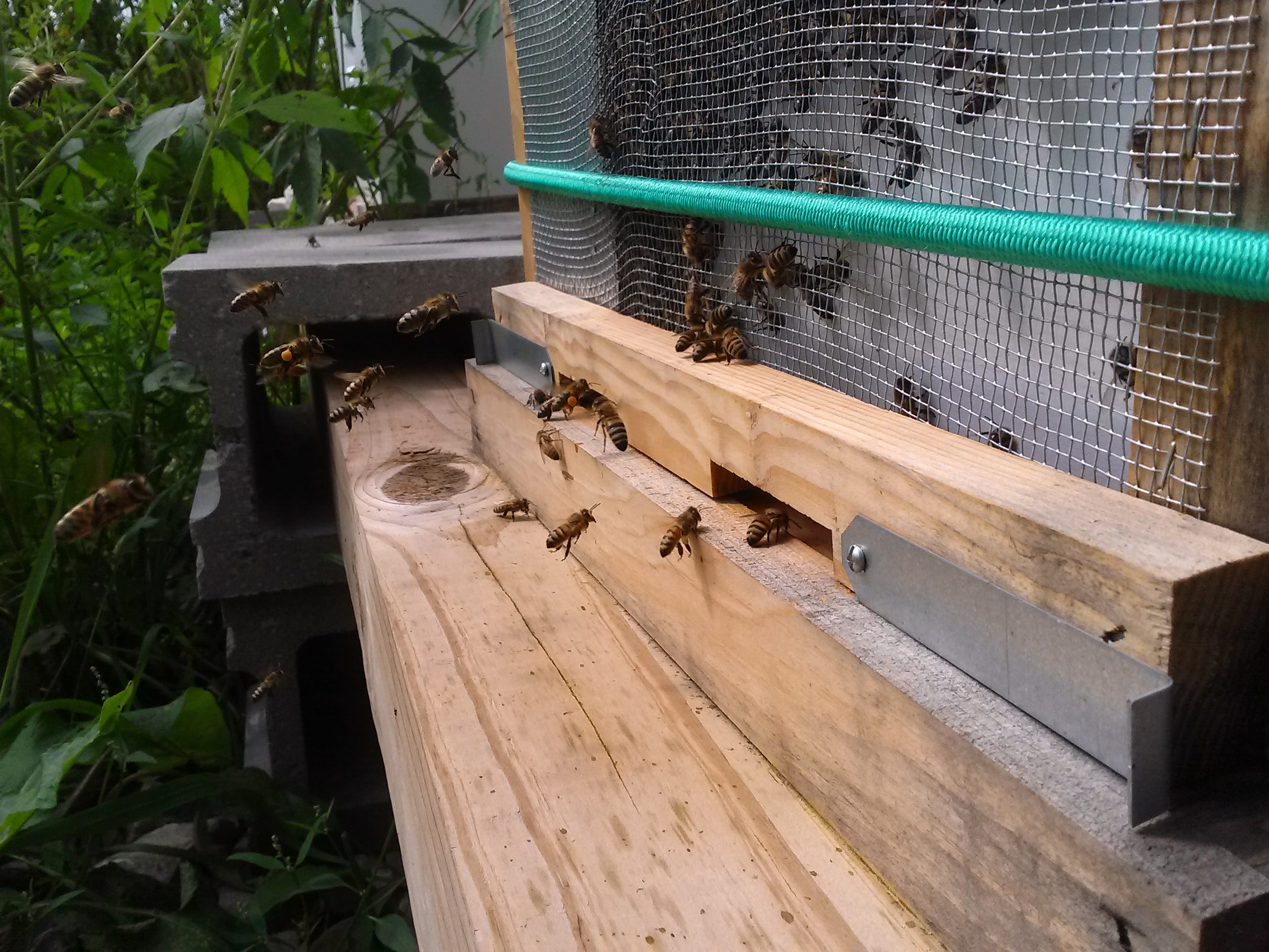 """This is a closeup of Hive 1 a couple of days after """"robber bees"""" arrived to steal honey, slaughtering many of the hive's bees in the process. This shows the robber screen the beekeeper put on during the carnage. The foragers learn how to get in and out of the hive, but the robbers can't."""