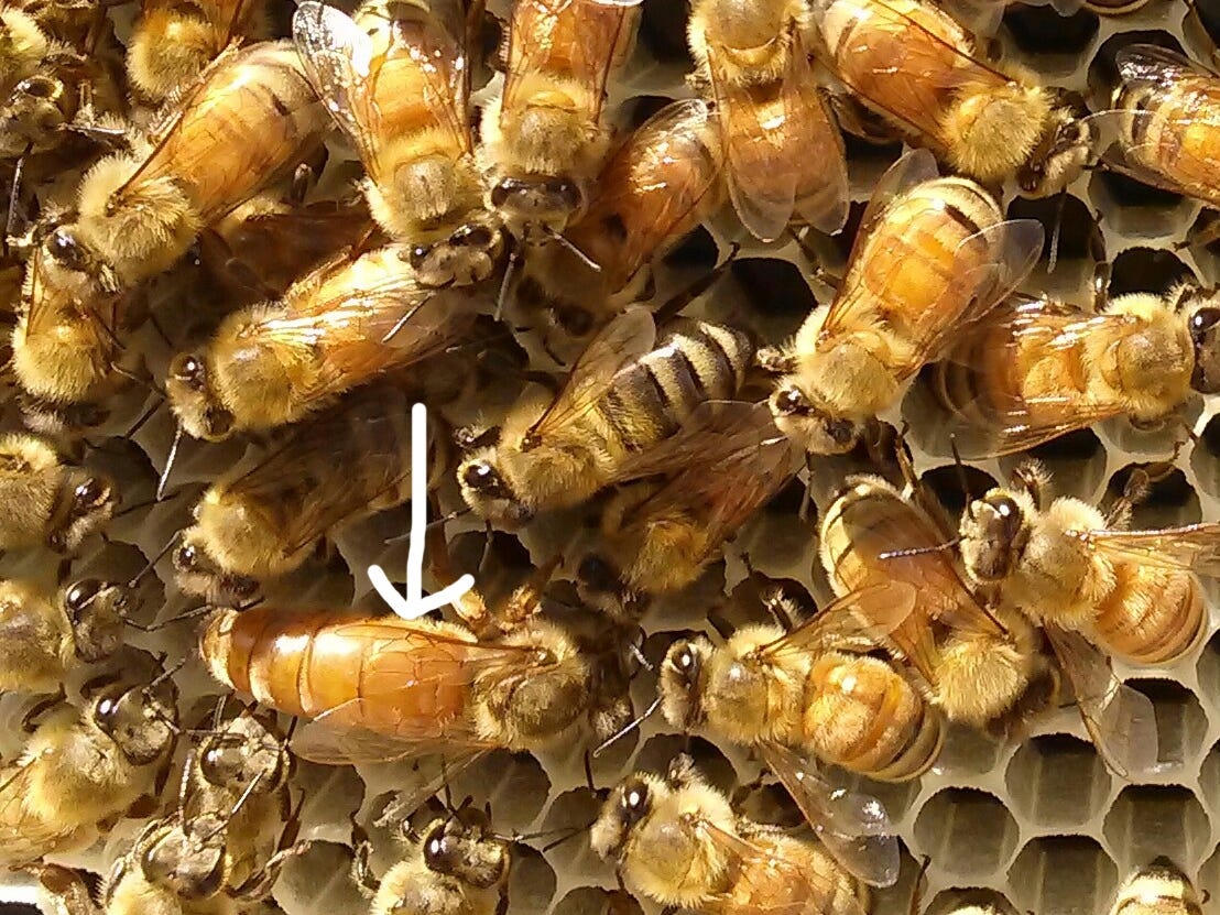 Queen Butterscotch, after she took half the bees in one hive to form another. She is recognizable by her long, tapered abdomen, which makes her nearly twice as big as the workers around her.