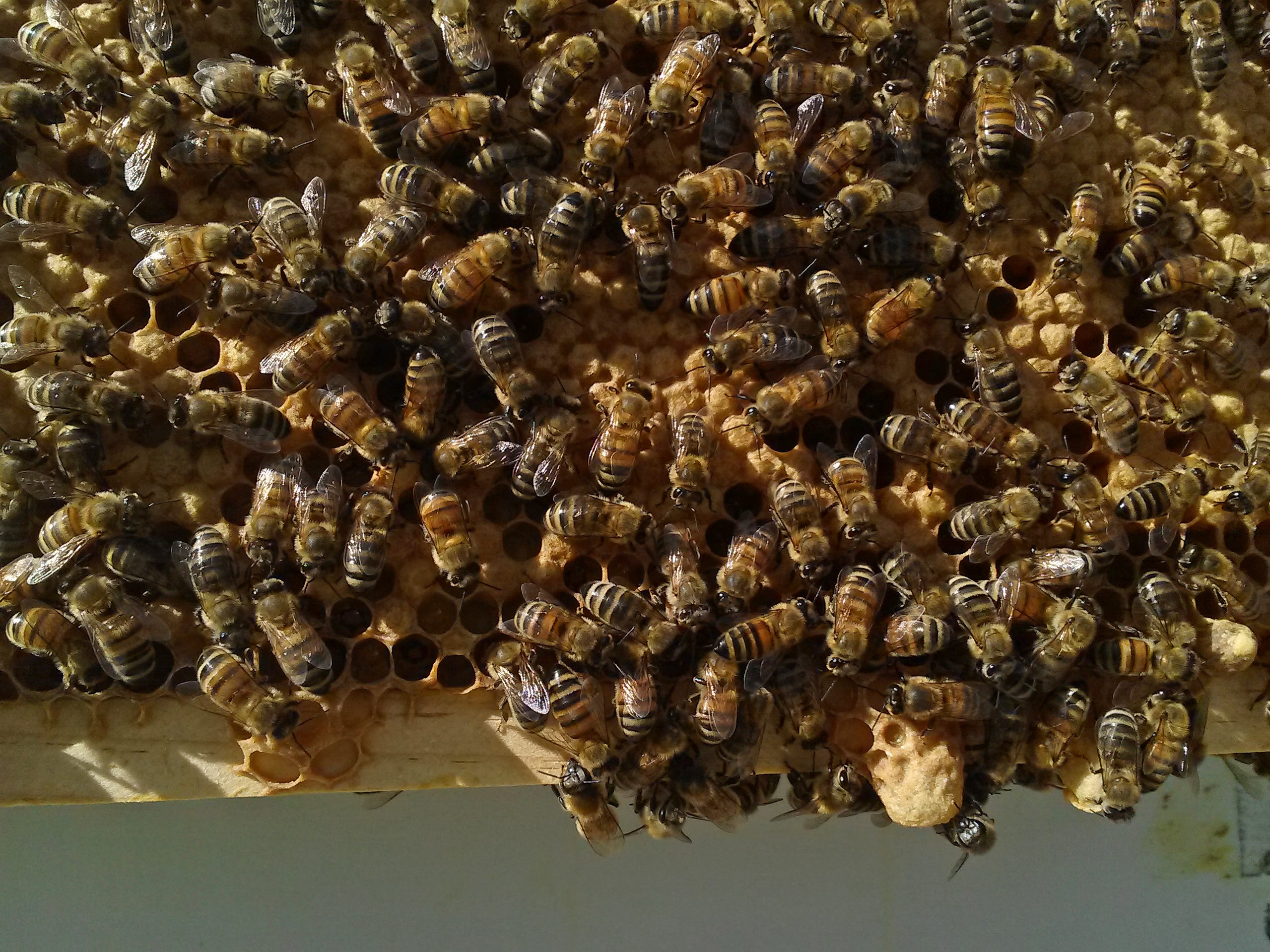 These Saskatraz bees, a newer, pest-resistant strain, are noticeably darker than Buckfast bees.