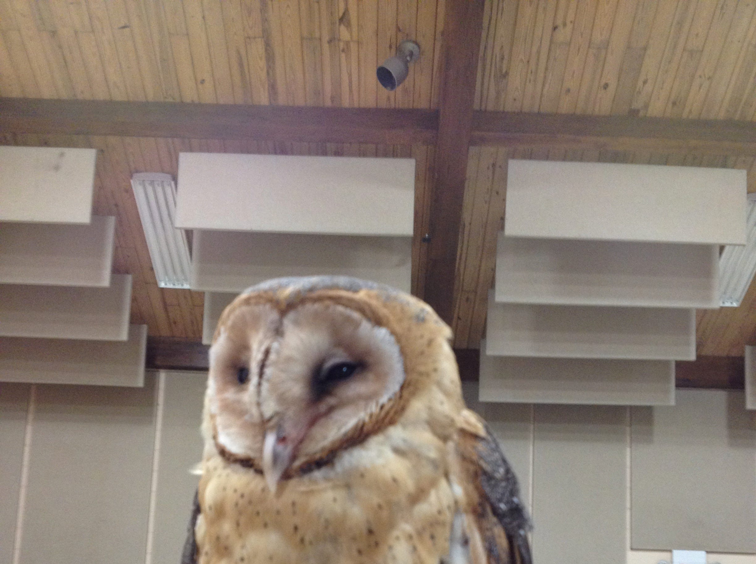 Birds of prey, like this owl, are part of an educational program that takes place at the Reelfoot Lake State Park Visitors Center.