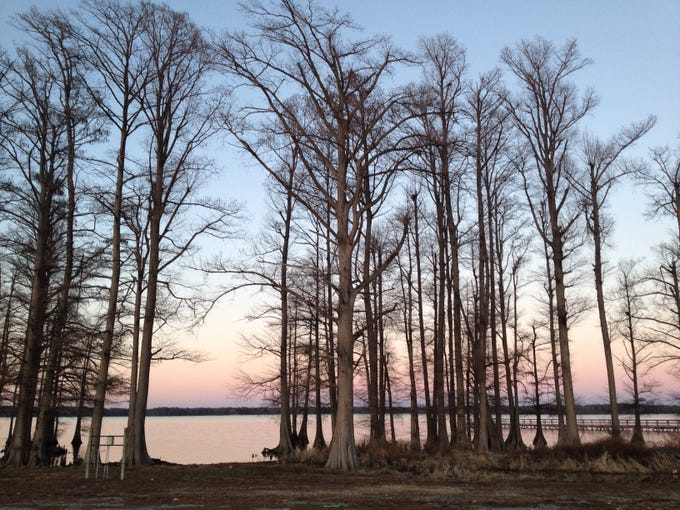 The natural, raw beauty of the Reelfoot Lake area is punctuated by majestic bald cypress trees.