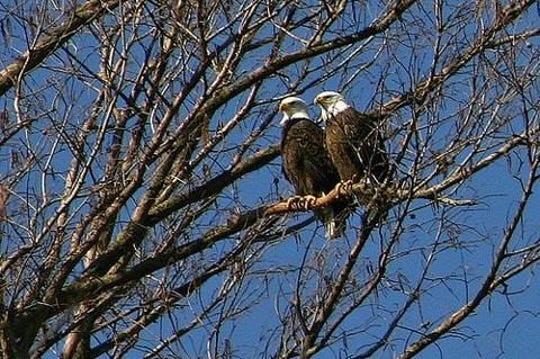 During the winter, Reelfoot Lake is home to one of the largest populations of bald eagles outside of Alaska.