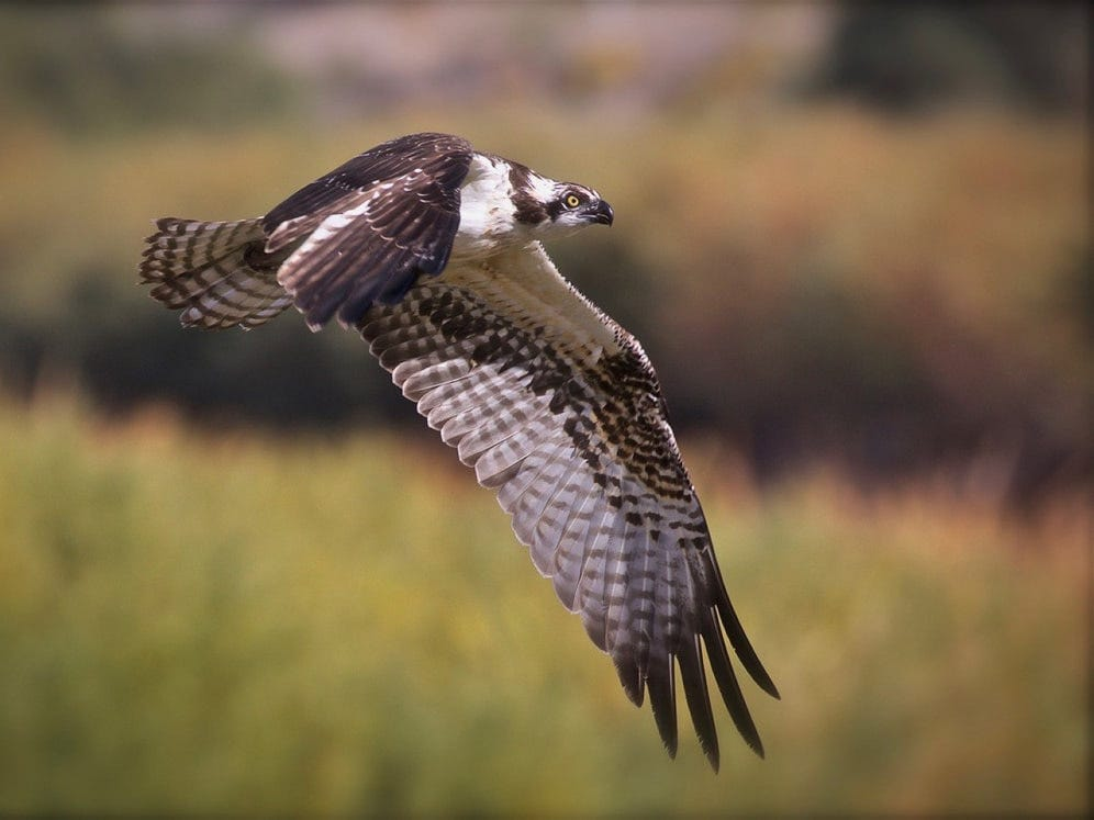 """Osprey By The Rio Grande,"" by Avi Kotkowski, a Doña Ana Photography Club Blue Ribbon Award Winner 2018."
