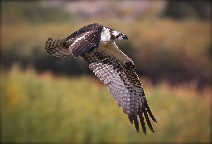 """Osprey By The Rio Grande,"" by Avi Kotkowski, a Doña Ana Photography Club Blue Ribbon Award Winner 2018."